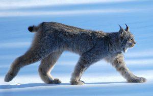 Canada Lynx walking on snow