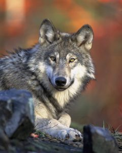 Image of Gray Wolf, by Idaho Department of Fish and Game