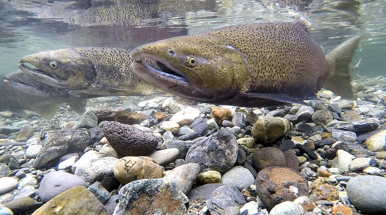 Male Fall Run Chinook Salmon in Butte Creek